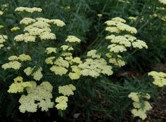 Moon Dust™ Achillea | Star Roses & Plants
