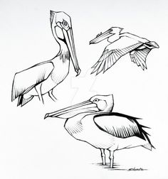 pelican sketches, pencil on bristol paper, 2013.