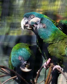 Blue Headed Macaws at the San Francisco Zoo. So beautiful! Tropical Birds, Colorful Birds, Budgies, Parrots, San Francisco Zoo, Bird Feathers, Beautiful Birds, Pet Care, Animal Kingdom