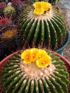 Cactus and Succulents Flowering Barrel Cacti Cactus Types, Types Of Succulents, Cacti And Succulents, Planting Succulents, Planting Flowers, Cactus Planta, Cactus Y Suculentas, Desert Flowers, Desert Plants