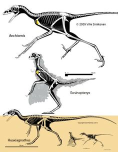 Figure 1. The ancestry of birds illustrated by Haplocheirus, Velociraptor, Aurornis, Archaeopteryx and Gallus to scale. Click to enlarge. Thanks to Scott Hartman for his Velociraptor, manus flesh outline oddly omitted.