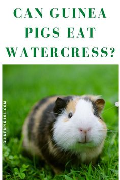 Watercress or yellowcress is aquatic plant species with deep green leaves, native to Eurasia, and naturalized throughout North America. It has a pungent, bitter, peppery flavor and is highly nutritious. But can our guinea pigs eat watercress? Let's find out! Guinea Pig Food, Pet Guinea Pigs, Pigs Eating, List Of Vegetables, Plant Species, Aquatic Plants, Serving Size, Bitter, Green Leaves