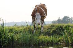 weiland aan de oever van de kagerplassen, zie http://nlwebmagazine.nl/fotos/kaag/