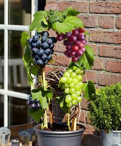 Grape Vine 'Tricolor' (mixed) - Climbing plants (Vitis vinifera). Grow wine grapes on your patio!  This wine grape assortment has been specially selected for thriving in a cool climate! You will receive three varieties in one pot:      'Pinot Blanc' (green grapes)     'Marechal Foch' (black grapes)     'Kalina' (red grapes) Height supplied: 25-30 cm.