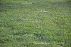 Zoysia-Tenuifolia ideale per un giardino secco