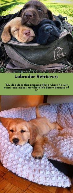 Simply click the link to get more information Labradors Click the link to get more information...