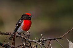 Red-capped Robin, Petroica goodenovii, from Strangways, Victoria, Australia by Patrick_K59 via Flickr (cc-by-nc-sa): http://www.flickr.com/photos/patrick_k59/10343081595/