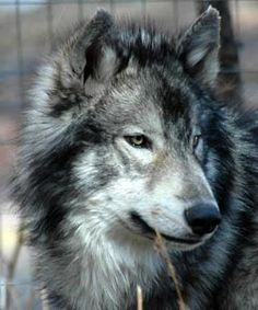 Nashoba, a wolf-dog resident of wolf sancutary. It would be nice to have him as a companion. Wolfdog Hybrid, Wolf Dogs, Fluffy Dogs, Lone Wolf, Animals Of The World, Dog Stuff, Husky, Piercings, Cute Animals