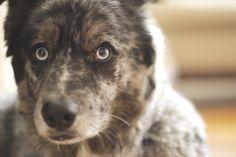 Best Eyes Finalist - Pete's dog Barley from Anchorage, Alaska.