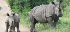 Hluhluwe-Imfolozi Game Reserve is the oldest game park in Africa.
