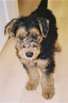Airedale Terrier Puppy at 2 months old  just so super adorable