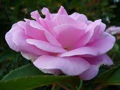 Hybrid China Rose 'Blairii No 2' at Adsworthy Garden