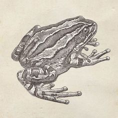 Marsupial Frog Print from a Vintage Drawing