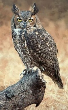 Great Horned Owl. South Sound Critter Care has rescued and return to good health, then released many of these great owls.