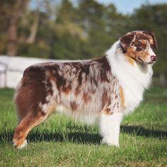 My future dog Aussie Shepherd, Australian Shepherd Dogs, All Breeds Of Dogs, Dog Breeds, Aussie Dogs, Mini Aussie, Herding Dogs, Dog Activities, Dog Agility