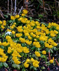 e263ba1b27c640 Eranthis hyemalis Herten Resistente Planten, Vroeg Voorjaar, Helder Geel,  Stengels, Bolbloemen