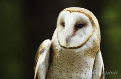 Owl. North Carolina.