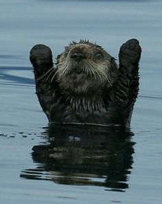 """animal-factbook: """"  Otters greet it's visitors by raising both hands, a sign of respect in the Otter community. """""""