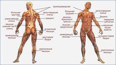Мышцы. имеющие наибольшее значение для быстрого плавания