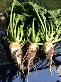 When the SHTF, spices and sugars may be hard to come by.  But you, the prepper, here's how to make your own sugar/syrup from Sugar Beets.  Wonderfully sweet, and the greens are fully edible too.  A must have for every survival garden.