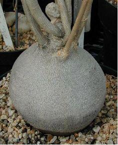 Euphorbia hedyotoides at the Huntington's (HBG80485)