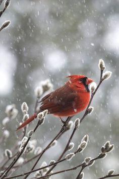 Northern Cardinal  Michele Black, Ohio
