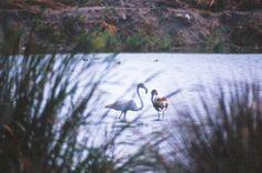 Santa Gilla: Die Außenbecken der Saline sind Tummelplatz für viele Vögel, die Meeräschen, Aale und Goldbrassen aus dem Wasser fischen