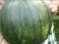 Growing and harvesting watermelons.
