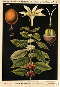 Carl Bollmann, illustration for wall chart Kaffeebaum / coffee tree (Coffea arabica), 1897. Vieweg & Sohn, Germany.