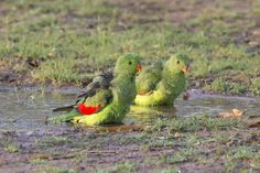 Red Winged Parrots by Shain Pereira on 500px