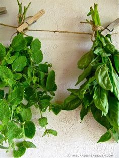 Tip: drying your herb harvest  by thegardenerseden.com  (photo: Mint and Basil Drying ⓒ Michaela at TGE)