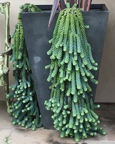 cactus growing from seed time lapse Succulent Outdoor, Succulent Gardening, Planting Succulents, Fall Hanging Baskets, Sedum Plant, Serenity Garden, Vertical Vegetable Gardens, Cactus Plante, Types Of Succulents