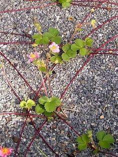 Le #marcottage est une technique de multiplication souvent utilisée pour les plantes difficiles à bouturer, comme les plantes grimpantes et les arbustes ligneux. Elle consiste à faire émettre des racines à un rameau, avant de le couper de la plante mère. Explications.