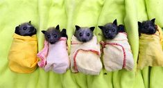 Baby Bats in Blankets -  These fuzzy little fellows were rescued after a flood in eastern Australia.