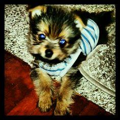 Maximus my little Yorkie Pom!