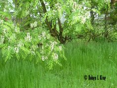 Flowering Tree by Robyn King