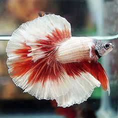 Betta-Male-Fancy-FULL-MASKED-GRAY-White-Copper-Red-Halfmoon