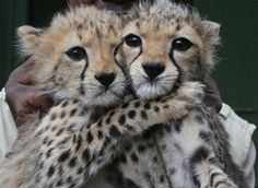"""Two female cheetah cubs abandoned by their mother in Tsavo East, Kenya, are now being cared for at the Nairobi Orphanage. Big Cats, Cats And Kittens, Cute Cats, Cheetah Pictures, Animal Pictures, Beautiful Cats, Animals Beautiful, Cute Baby Animals, Animals And Pets"