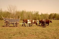 oxen pulling an old fashioned cart