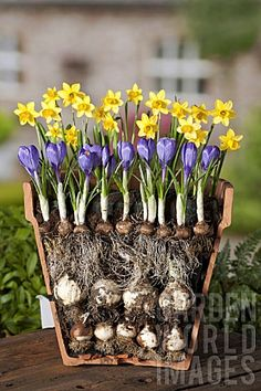 Bulbs - How To - Diy planters Forcing Spring Bulbs - How To - Diy planters - Forcing Spring Bulbs - How To - Diy planters -Spring Bulbs - How To - Diy planters Forcing Spring Bulbs - How To - Diy planters - Forcing Spring Bulbs - How To - Diy planters - House Plants, Planting Bulbs, Plants, Garden, Lawn And Garden, Bulb Flowers, Flowers, Container Gardening, Garden Containers