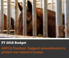 *****PLEASE help fight to stop the slaughter of wild horses ( so wealthy ranchers' cattle can graze on federal lands!) Read this article w/ who to call & what to say. **Advocacy Alert | ASPCA