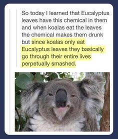 koalas eating eucalyptus leaves funny