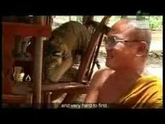 Tiger Temple Animal Planet ( VDO)