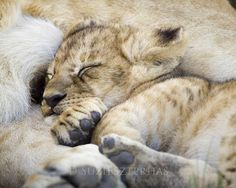sleepy baby lion, in the protective arms of mama
