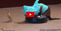 I LOVE Shark Cat - so cute and silly! Click through to watch Shark Cat ride around on a roomba with a duck friend!