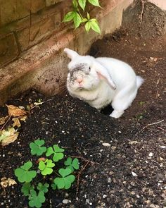 This rabbit is very cute Cute Baby Bunnies, Funny Bunnies, Cute Baby Animals, Animals And Pets, Funny Animals, Cute Babies, Funny Animal Pictures, Cute Pictures, White Rabbits