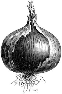 The Naples giant rocca onion has a roundish, large bulb. The flesh is thick and white. Vegetable Illustration, Fruit Illustration, Ink Illustrations, Still Life Sketch, Still Life Drawing, Botanical Drawings, Botanical Art, Onion Drawing, Engraving Illustration