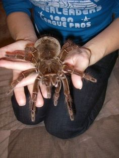 Types Of Spiders, Spiders And Snakes, Scary Spiders, Tarantula Enclosure, Pet Tarantula, Beautiful Creatures, Animals Beautiful, Cute Animals, Spider Species