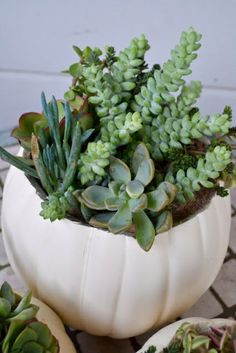 Zimmerpflanze schattig sukkulenten zimmerpflanzen pflegeleicht