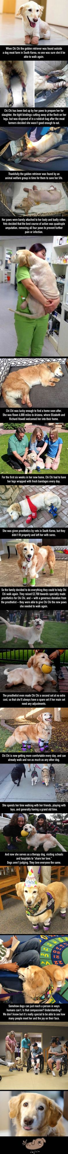 This Adorable Golden Retriever Is A Quadruple Amputee But Also A Popular Therapy Dog